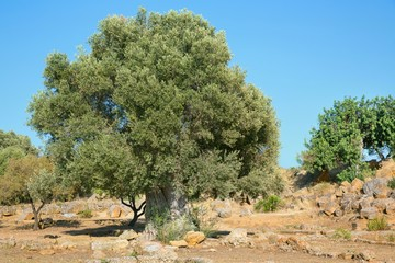 Very old olive tree; 2000 years old olive tree