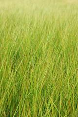無農薬の天然い草畑