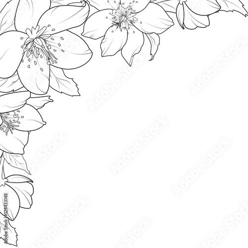 Line Art Flower Corner : Quot christmas rose hellebore flowers corner edge frame border