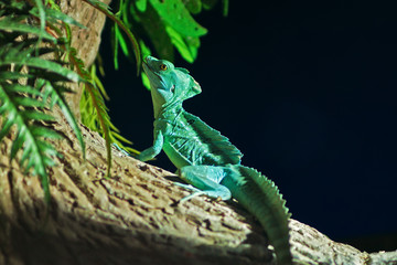 Green chameleon sitting in a tree in the wild jungle conditions.