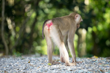 Monkey showing red ass in the forest.