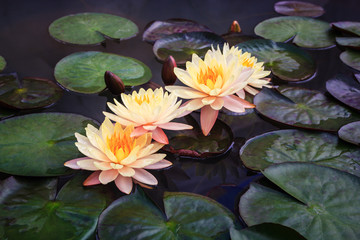 Beautiful lotus in the pond