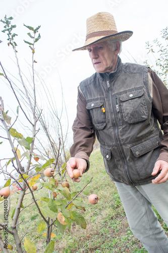 Elderly man picking up medlar fruit quot stock photo and royalty free