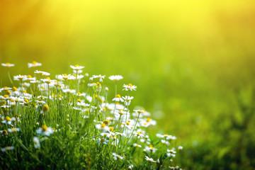 Amazing chamomile field. Summer flowers .