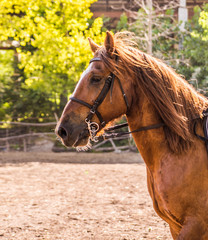 Head of dressage horse on green leaves background. Portrait of a brown horse staying outdoors with a bridle