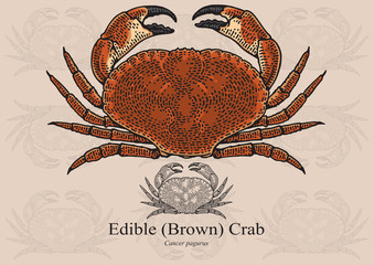 Edible (Brown) Crab. Vector illustration for artwork in small sizes. Suitable for graphic and packaging design, educational examples, web, etc.