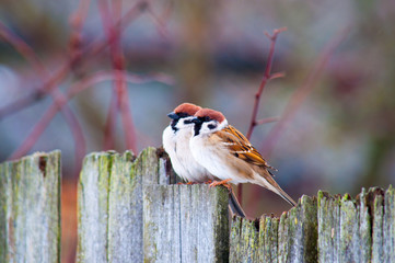 sparrows on the fence in the spring