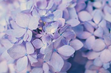 Purple Hydrangea Flower Background