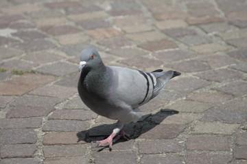 Taube auf Pflastersteinen