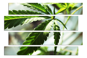 Marijuana Leaf Stock Photo High Quality