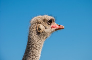head of young ostrich against the blue sky