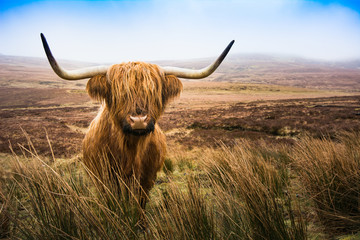 Photo sur Aluminium Vache de Montagne Scottish Highland Cow cow in field looking at the camera,Highlan
