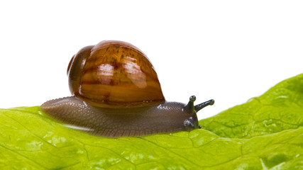 Snail On Green Leaf Isolated