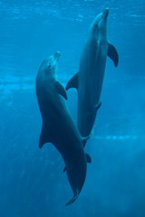 Common bottlenose dolphin (Tursiops truncatus).