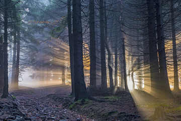 Spruce forest with sun rays