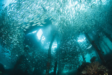 large fish school under a jetty in Raja Ampat