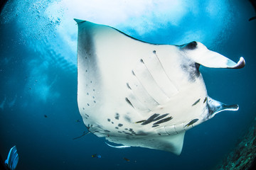 Oceanic manta ray in Raja Ampat