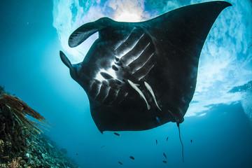 Oceanic manta ray in Raja Ampat