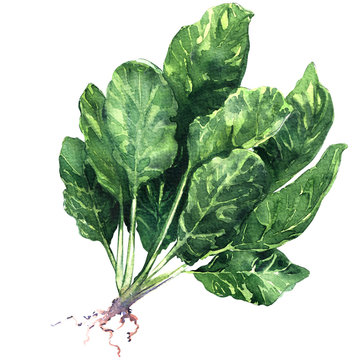 Fresh spinach leaves with root isolated, watercolor illustration on white