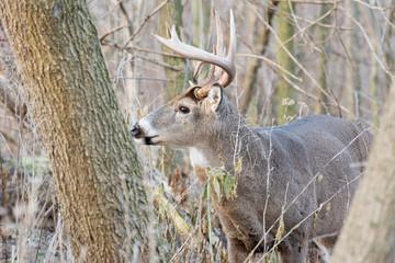 Wall Mural - Whitetail Deer Buck