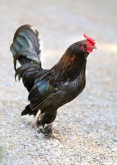 Photo black cock