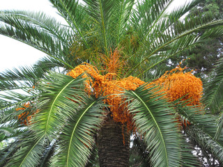 Palm tree with fruits