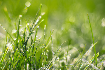 Grass. Fresh frozen green grass with dew drops closeup. Frost on the grass. Sun. Soft Focus. Abstract Nature Fund.
