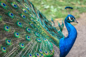Peacock with spread wings in profile