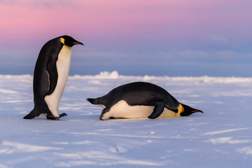 Emperor penguins, one standing one sliding on belly