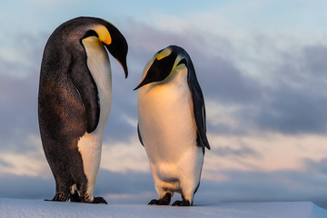 Emperor penguin curiously looking at his friend's belly