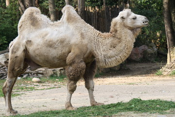 Camel with two humps