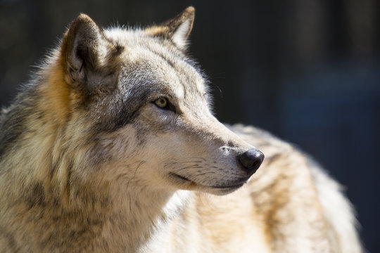 Close-Up Of Wolf Looking Away