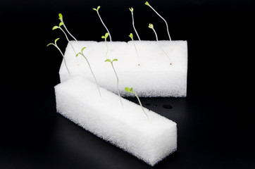 Green hydroponics sprouts in white sponge in human hand
