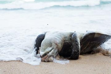 Dead Sea turtles .