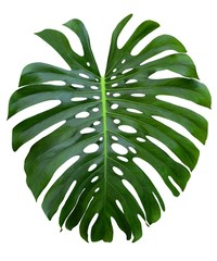 monstera large jungle green leaf, Swiss Cheese plant,  holes and splits, isolated on white background