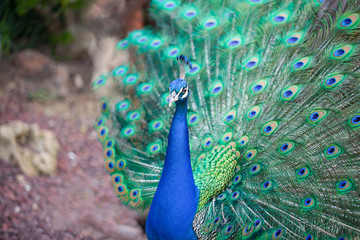 A portrait of beautiful peacock with tail feathers out