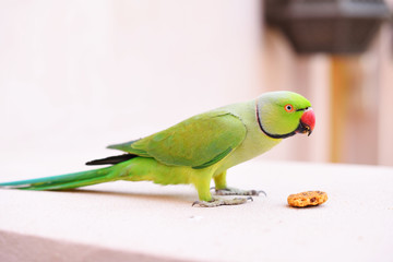 parrot eating biscuit