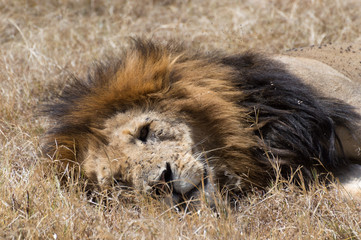 A male lion with full mane lying on his side in the dried grass of the Masai6 Mara in Kenya. Close up his face shows many scars and flies.