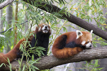 Red pandas in trees