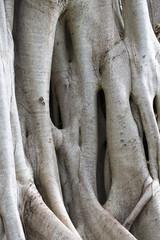 Beautiful Strangler fig growth