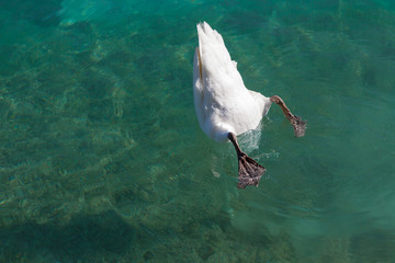 swan dived into the water