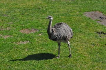 Emu - Vogelstrauß