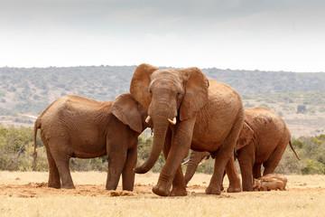 African elephant walking towards you