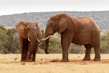 African elephants staring at each other