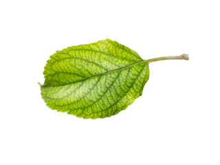 Apple leaves isolated on a white background. Leaf from an apple tree cut from background