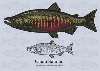 Chum Salmon (Spawning phase). Vector illustration for artwork in small sizes. Suitable for graphic and packaging design, educational examples, web, etc.