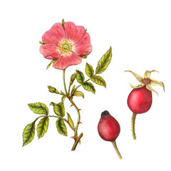 Isolated botanical illustration of briar