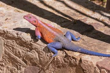 Pink and blue agama lizard sits on brown stone. Serengeti National Park, Great Rift Valley, Tanzania, Africa.