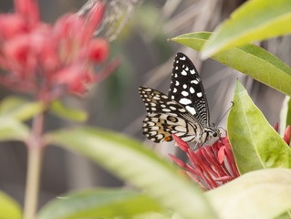Common Lime butterfly (Papilio Demoleus butterfly)