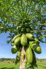 Green papayas growing on a tree